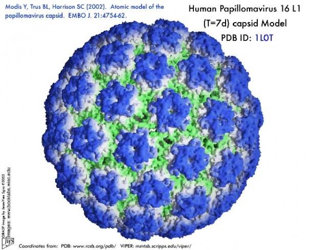 human papilloma virus)