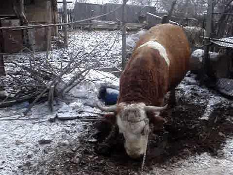 îndepărtarea tăviței de taur