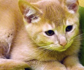 Raia Auriculara La Pisici: Tot ce trebue sa stii - Blog MobileVet