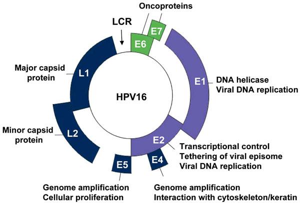 human papillomavirus viral genome)