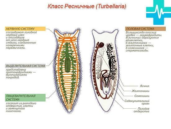 tabel de viermi și tipurile lor