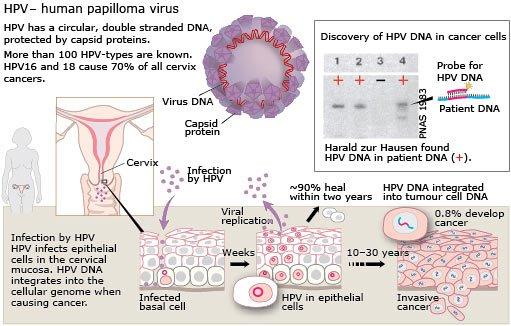 Vaccino papillomatosi virus bovino, Traduzione di