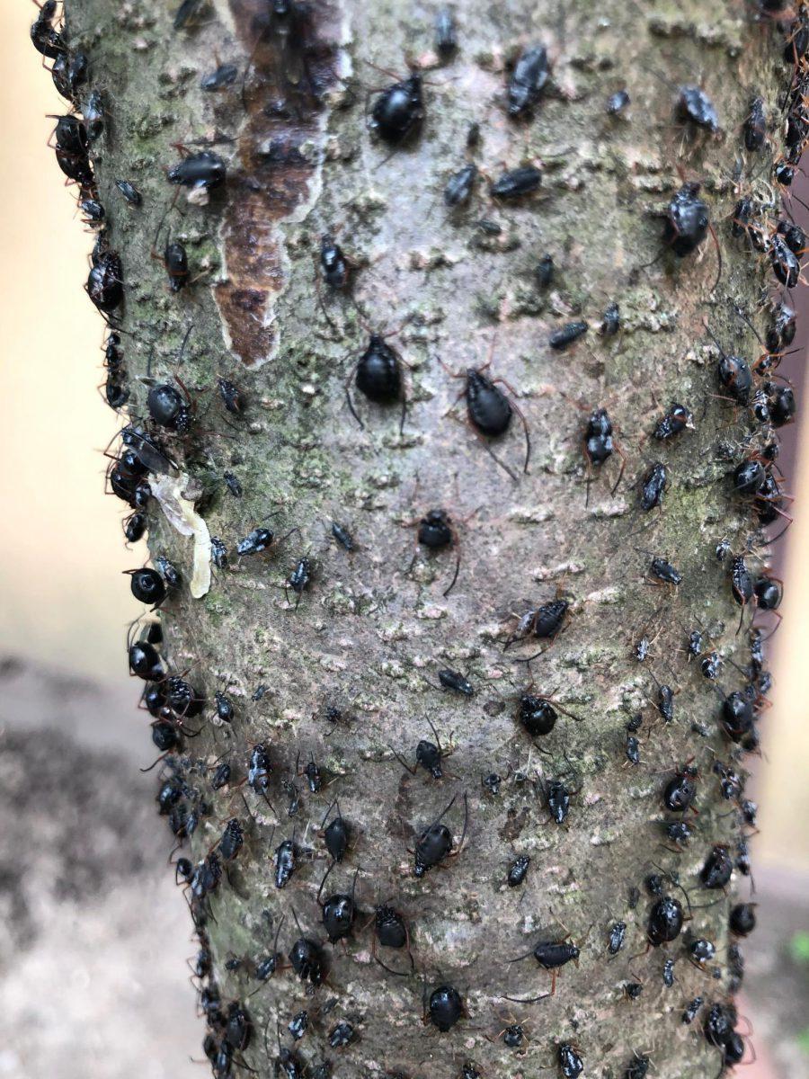 paraziti arbori quassia)