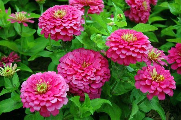 flori de tenă)