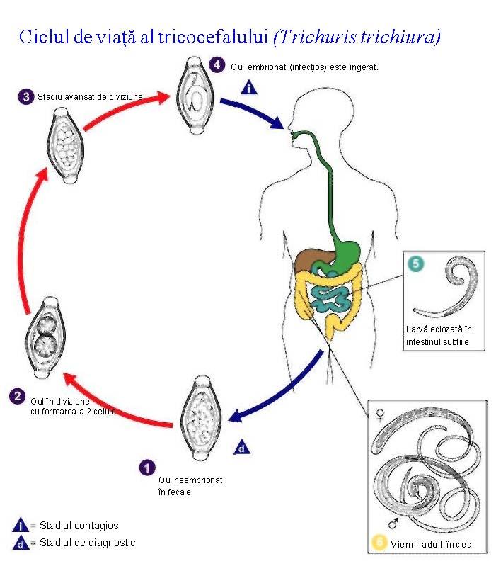 simptomele helminților la adulți