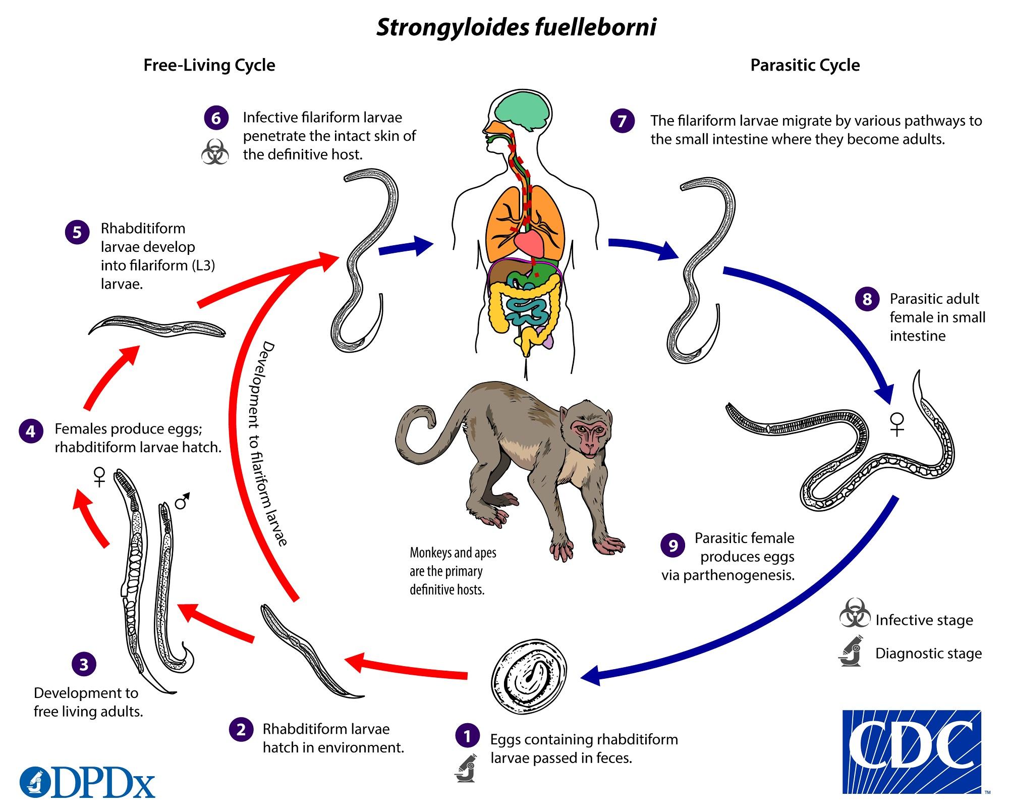 ciclul de viață al giardiozei cdc
