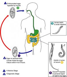 enterobius vermicularis transmissao
