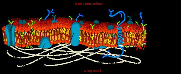 patologia giardia duodenului