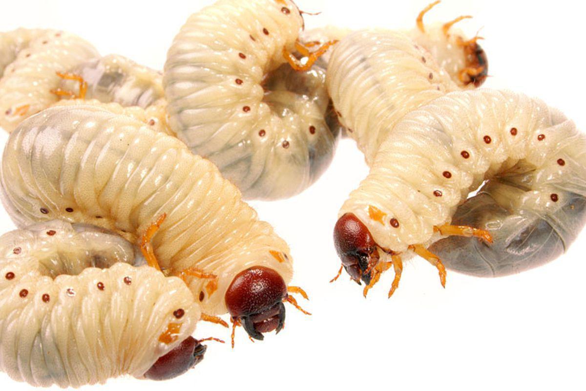 o grămadă de viermi)