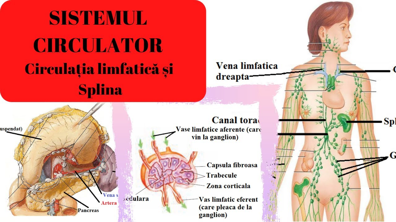 ciclul circulator în organism