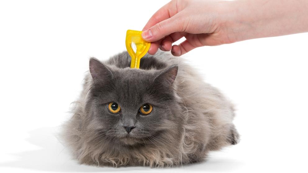 Giardia sintomas gatos - triplus.ro