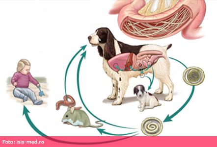 giardia caini în simptom human papillomavirus bacteria