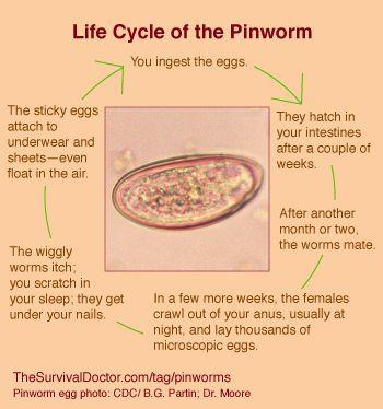 Pinworms este situat în. Enterobius vermicularis classificacao - Tableta de vierme uman