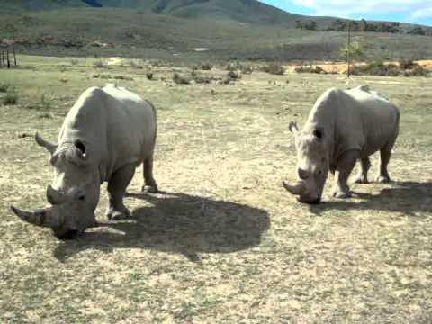 Larva de rinocer,