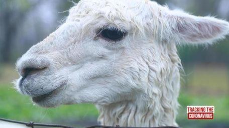 paraziți în imaginile alpaca