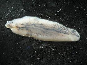 vierme parazită comprimate de profilaxie helmintică