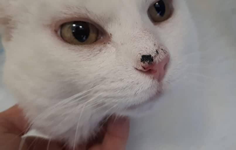 papilloma orecchio gatto