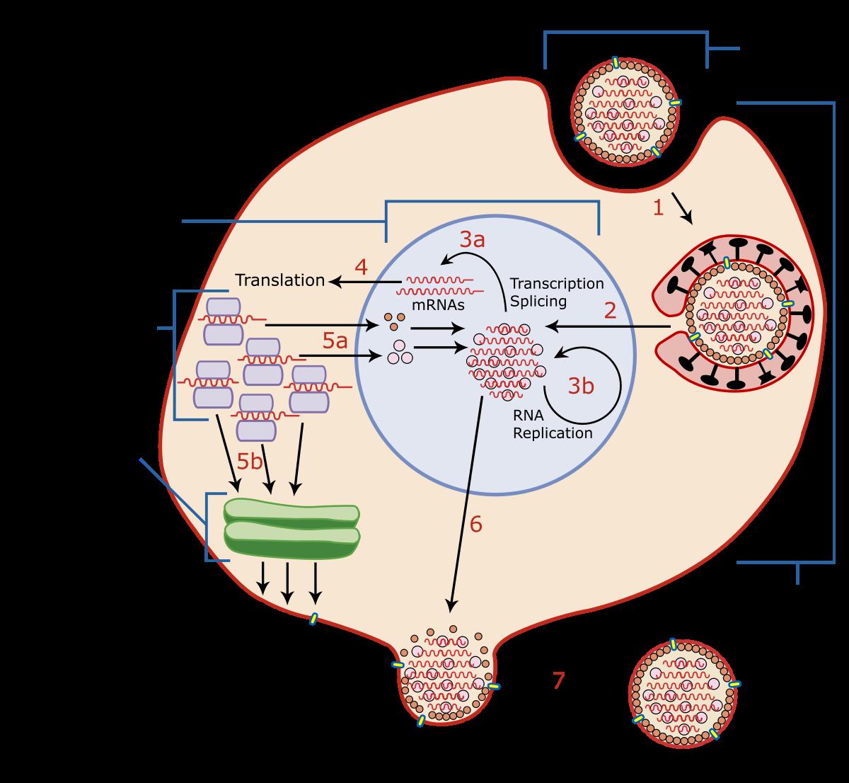 virus hpv latenza recenzii ale tratamentului paraziților pentru copii