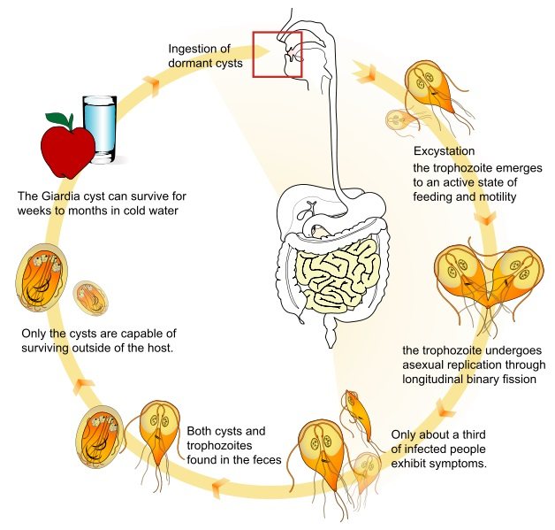 Giardia paraziti simptome - triplus.ro Giardia nell uomo
