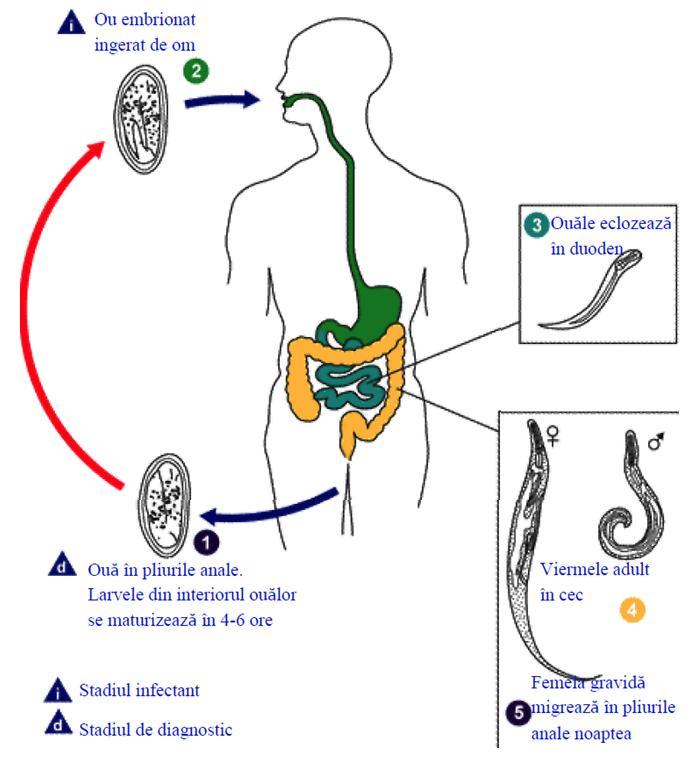 detectarea viermei pastile de vierme pentru tratament