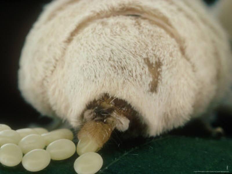 dimensiunea oului de vierme)