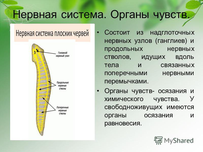 Platelminți Diferențele dintre clasele de platyhelminthes