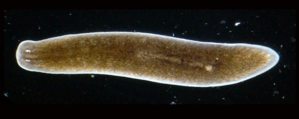 platyhelminthes non planar)