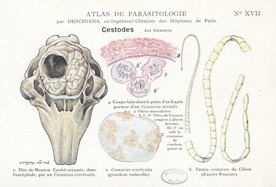 hpv high risk subtypes de ce sunt viermii periculoși pentru adulți?