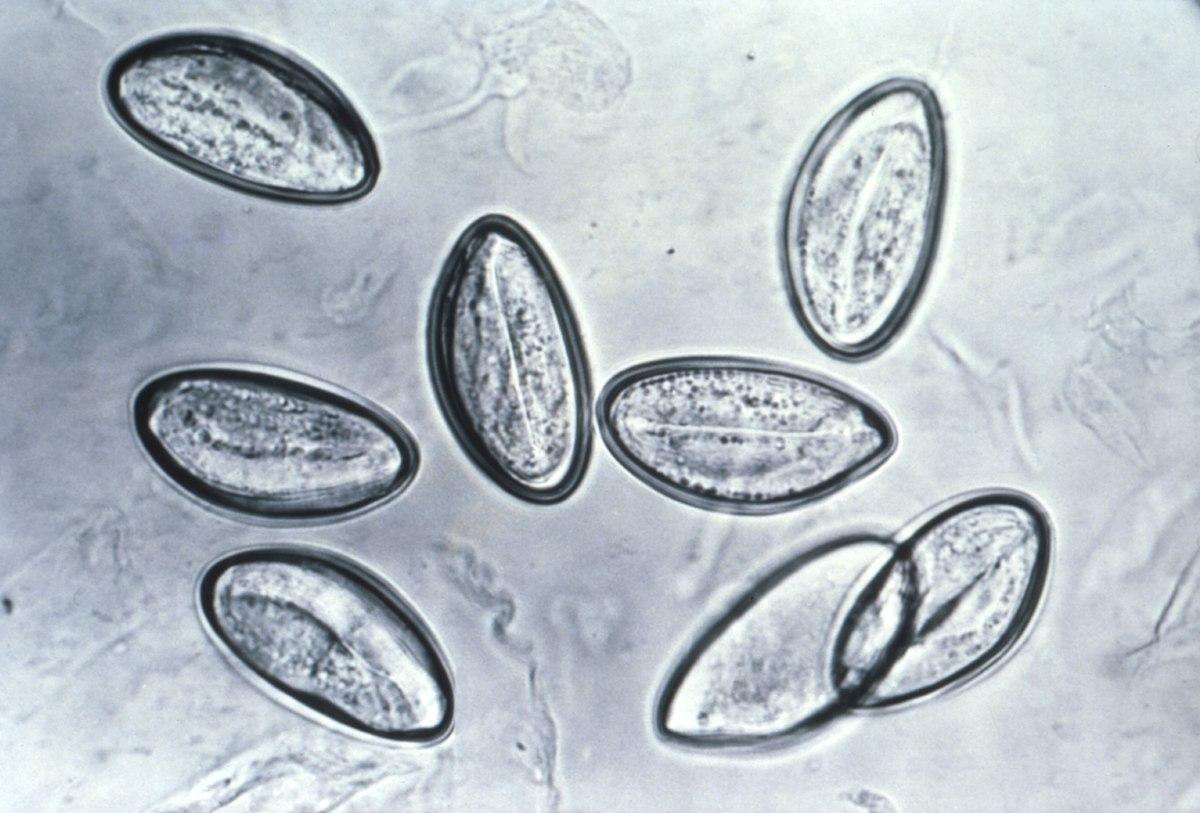 stadiul invaziv al enterobiozei)