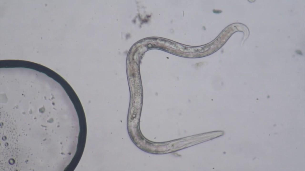 Răspândirea branhiilor, Paraziti dactylogyrus în trematode monogenetice