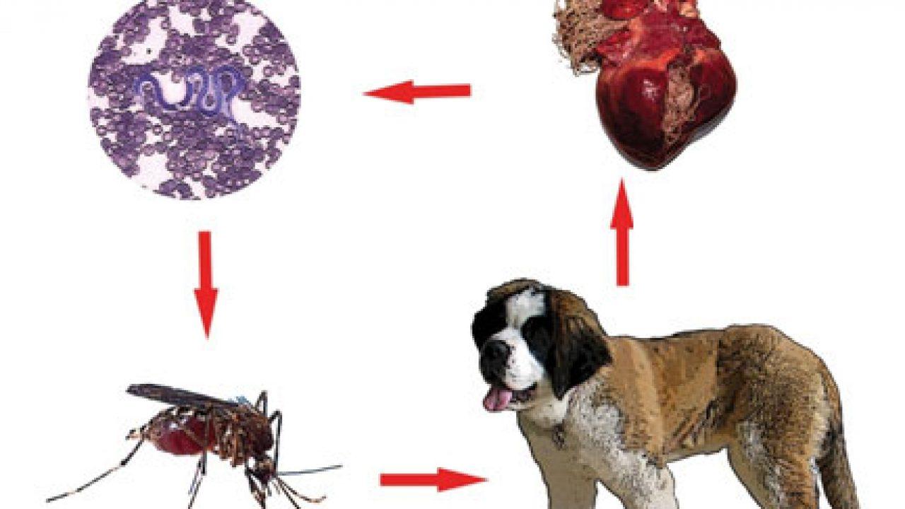 Ce este ascaridioza (infectia cu Ascaris lumbricoides sau limbrici)? | Bioclinica