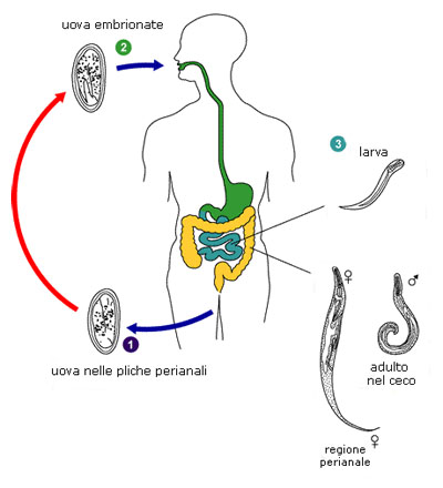 enterobius vermicularis ciclo vitale)