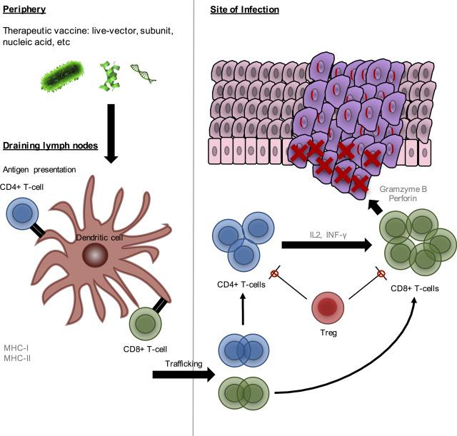 hpv virus zinc)