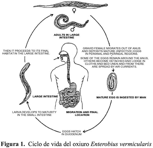 Oxiuros ciclo evolutivo, Ciclo biologico del parasito oxiuros - Навигация по записям