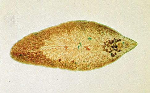 worms trematode