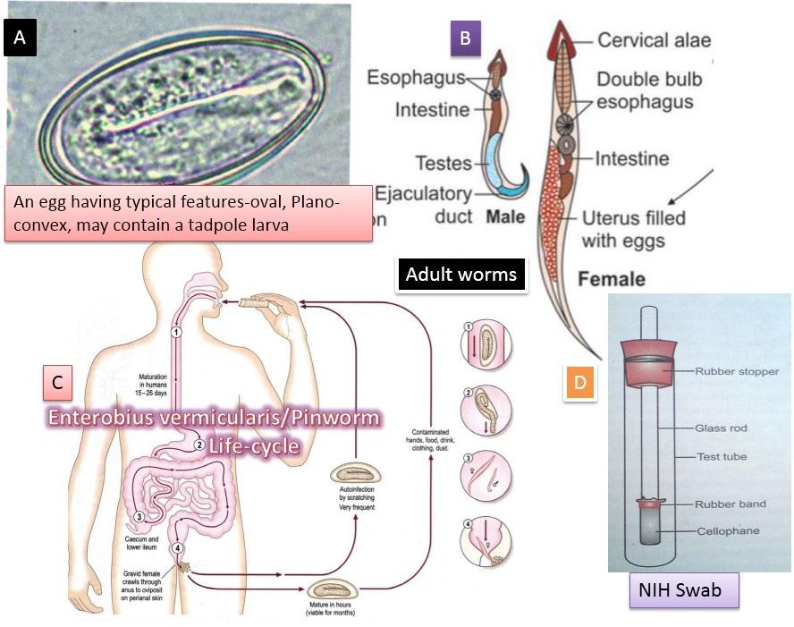 enterobiasis acridine tratamentul timpuriu pentru paraziți