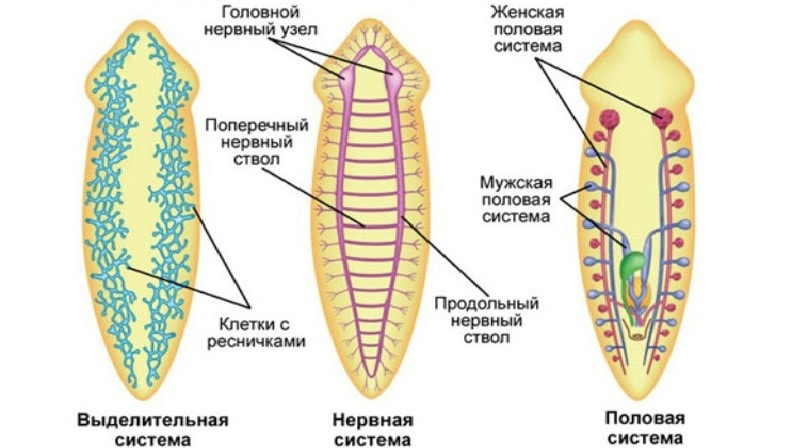 Tabelul Lui Malwareev: Viermele