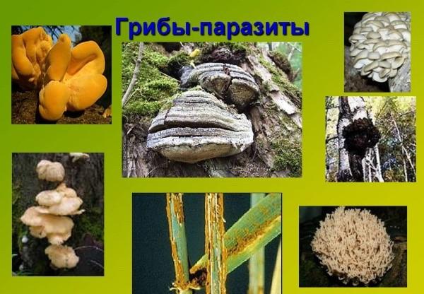 tratament pentru ciuperci parazite)