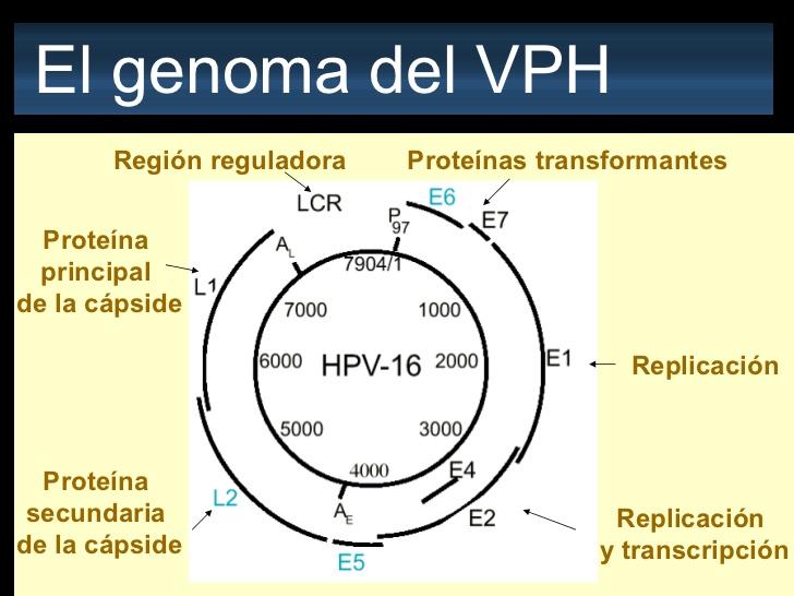 Papillomavirus genotipo 51