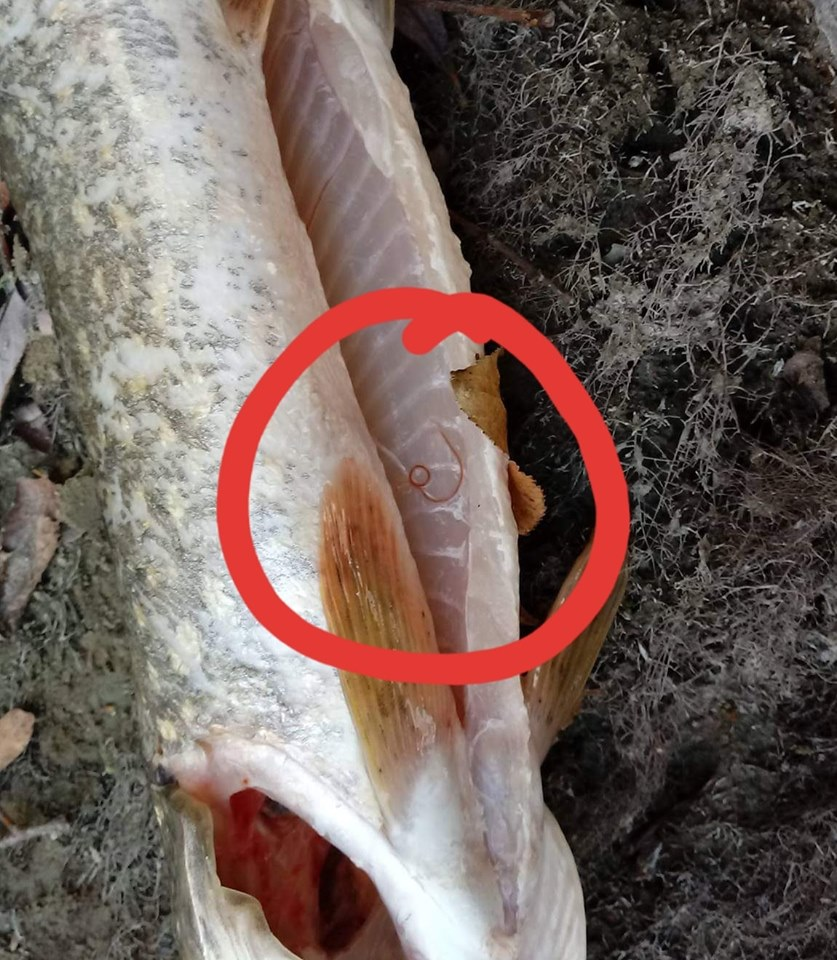 de ce este viermele periculos pentru oameni?)