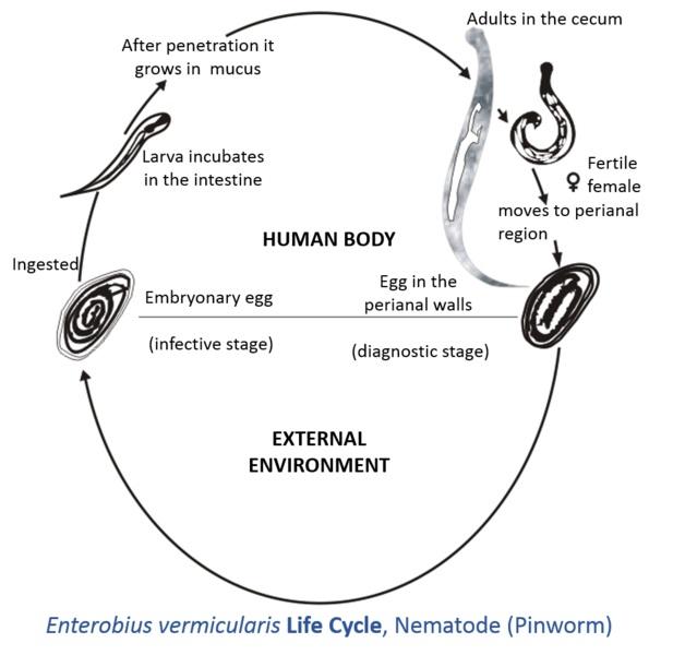 karakteristik enterobius vermicularis