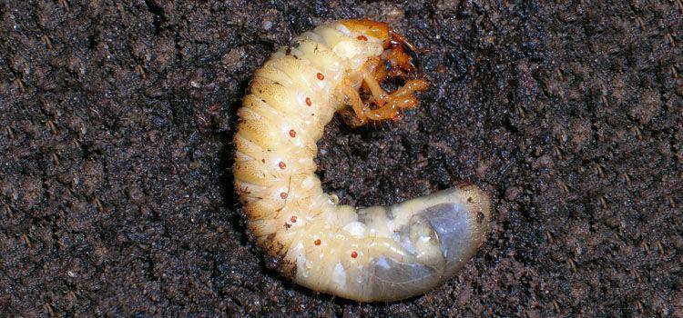 un leac pentru larvele de vierme)