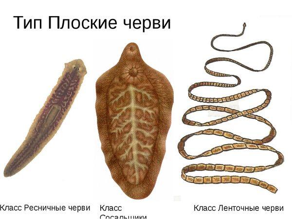 Planaria și taurul taur. Tratamentul în lanț al helminților