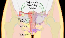lecba hpv viru u muzu