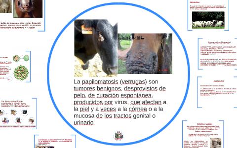 papilomatosis en bovinos sintomas