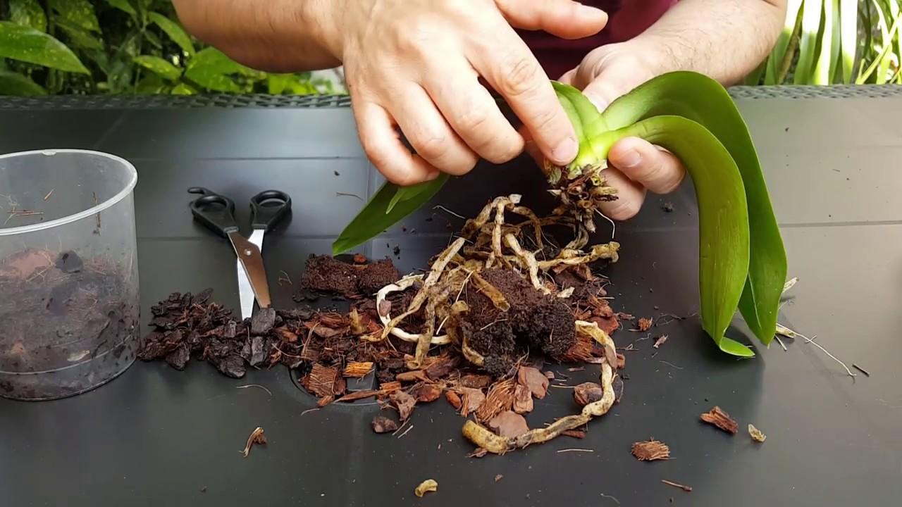 rădăcini noi curăță paraziții