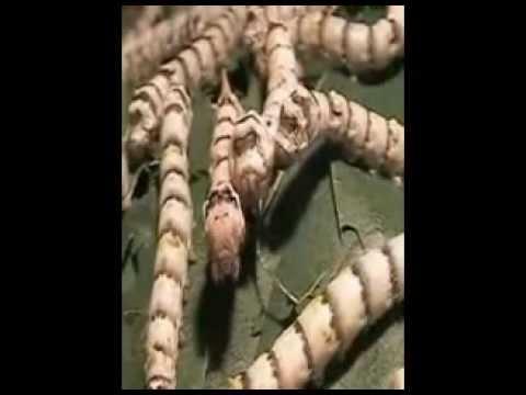 ciclul de vierme cu roți știe)