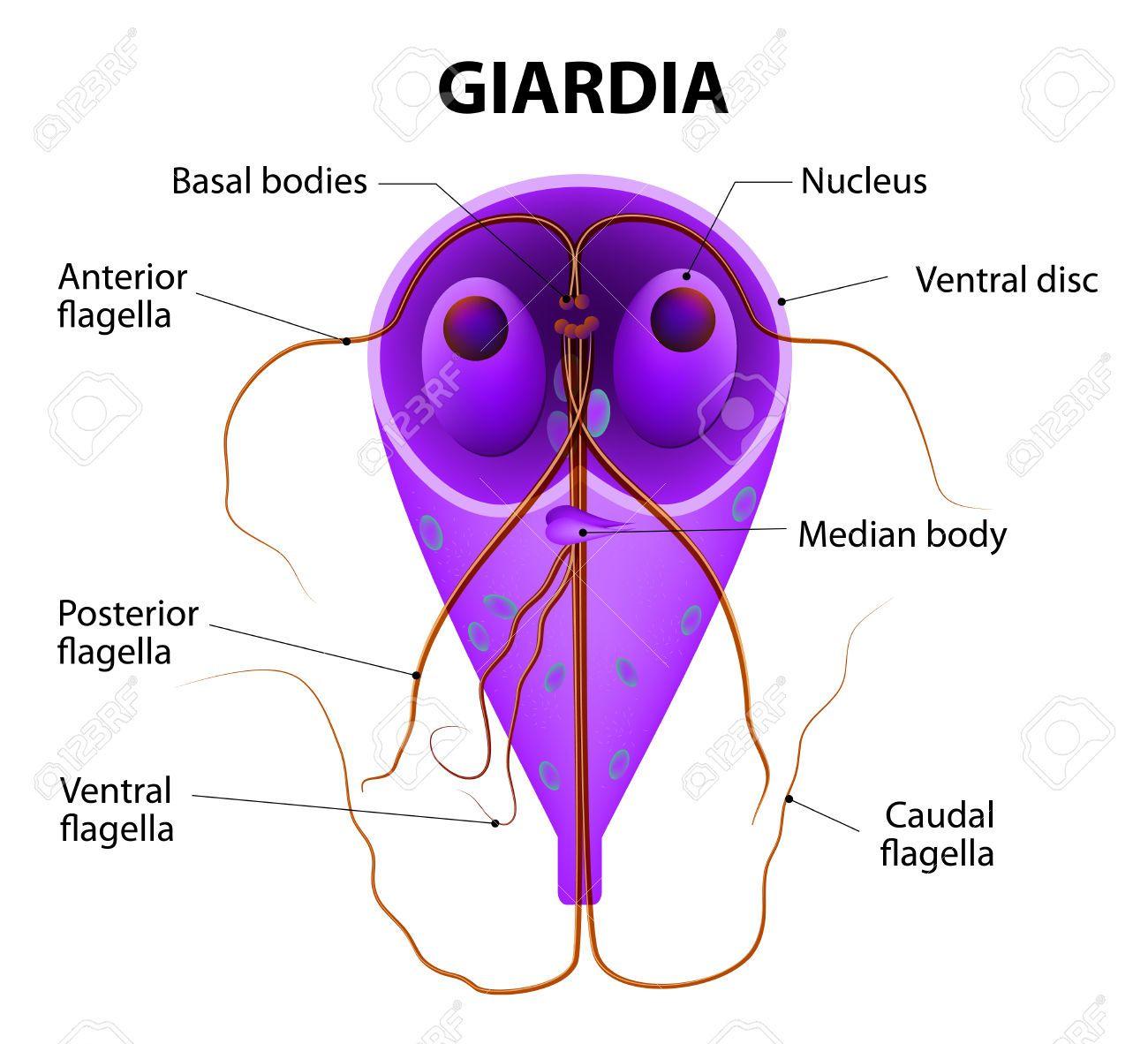 Antigenul Giardia (lamblia) intestinalis (calitativ)