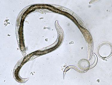 Vierme rotunde vierme rotunde Care sunt cauzele dirofilariozei la caini?