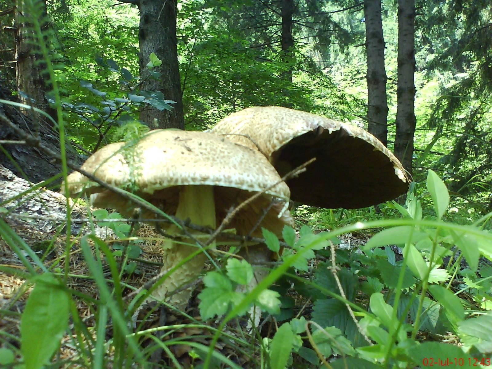 ciupercile sunt paraziți umani